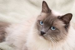 Katzeserie - ragdoll Lizenzfreie Stockbilder