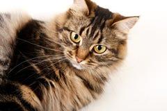 Katzeweißhintergrund Stockfotos