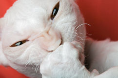 Katzewekzeugspritze Lizenzfreies Stockfoto