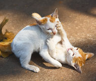 Katzezwilling lizenzfreie stockbilder