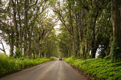 Kauai's Tree Tunnel. 500 eucalyptus trees from Australia were planted more than 100 years ago on Maluhia Road & x28;Highway 520& x29;. Now their canopy is Royalty Free Stock Photography