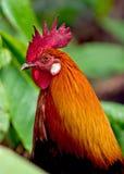 Kauai κόκκορας Στοκ Φωτογραφίες