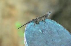 Kauai gecko, hawaianska öar Royaltyfria Foton