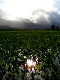 Kauai, Hawaii - January 29 2016: Hanalei Bay Taro Farm stock images