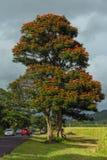KAUAI HAWAII, USA - DECEMBER 22, 2013: Träd med den orange blomningen Royaltyfri Bild