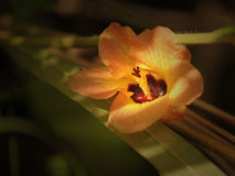 Kauai Hibiscus Royalty Free Stock Photos