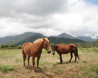 Kauai Horses. On the north shore of Kauai, ranch horses take in the scenery before a storm Royalty Free Stock Images