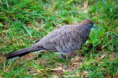 Kauai i zebry gołąbka zdjęcia stock