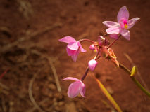 Kauai Orchid Stock Images