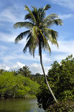 Kauai River Bend. Single palm tree leans over river.  Blue skies and white fluffy clouds frame waving palm fronds.  Lush vegetation Royalty Free Stock Images