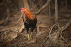 Kauai rooster Royalty Free Stock Images