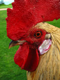Kauai rooster head close up. Close up of kauai rooster head Stock Photography