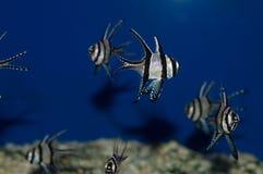Kaudern`s Cardinalfish Group. The Kaudern`s Cardinal, also known as the Banggai Cardinalfish or Longfin Cardinalfish, is silver highlighted by black stripes and royalty free stock photography