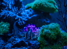Kauderni Pterapogon, ζέβες apogon, βασικά ψάρια Banggai Clavularia Θαλάσσιο ενυδρείο δεξαμενών σκοπέλων Μπλε σύνολο ενυδρείων των Στοκ φωτογραφία με δικαίωμα ελεύθερης χρήσης