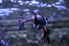 Kauderni Pterapogon καρδιναλίων μωρών στοκ φωτογραφίες