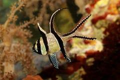 Kauderni Pterapogon морских рыб аквариума cardinalfish Banggai Стоковые Фото