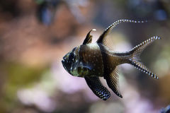 Kauderni Pterapogon cardinalfish Banggai Стоковые Фотографии RF