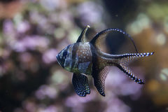 Kauderni Pterapogon cardinalfish Banggai Стоковая Фотография RF