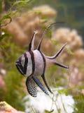 Kauderni van Pterapogon Royalty-vrije Stock Afbeeldingen