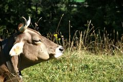 Kauen der Kuh Lizenzfreie Stockfotos