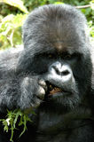 Kauen des Gebirgsgorillas Stockbilder