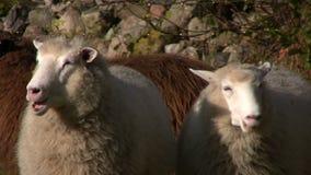 Kauen mit zwei Schafen stock video footage