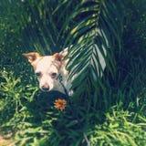 Kauen Sie die Chihuahua Stockfotografie