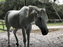 Kauerndes Pferd Stockbild