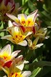 Kaufmanniana弗洛雷斯塔种类的郁金香 库存照片