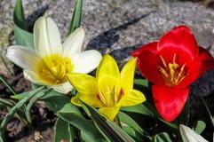 Kaufmanniana sauvage de Tulipa de tulipe Photo libre de droits