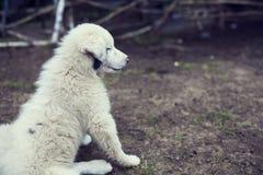 Kaukasisch herderspuppy Stock Foto