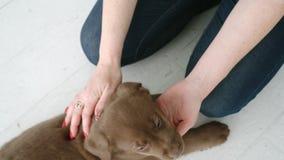 Kaukasisch van vrouwenslagen en massages hoofd van het bruine puppy dat van Labrador op vloer binnen in dag ligt stock video
