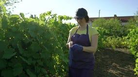 Kaukasisch wijfje in schort en GLB die op blauwe het tuinieren handschoenen in wijngaard zetten stock videobeelden
