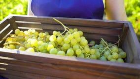 Kaukasisch wijfje in schort en het tuinieren handschoenen die houten doos met druiven dragen stock foto
