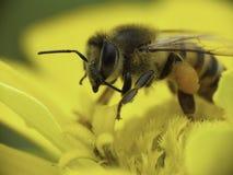 Kaukasische Biene, die Blütenstaub montiert. Stockfotografie