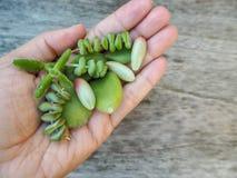 Kaukasische Hand, die eine Vielzahl von saftigen Blattausschnitten für Ausbreitung wie sedum rubrotinctum, Crassula, Keimblatt hä stockbild