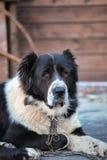 Kaukasische Herder Royalty-vrije Stock Fotografie