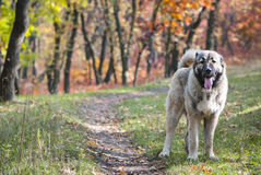 Kaukasische Herder Dog royalty-vrije stock foto's