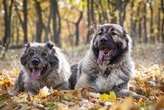 Kaukasische Herder Dogs Stock Foto