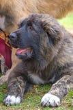 Kaukasische herdershond royalty-vrije stock foto
