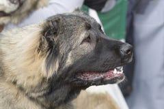 Kaukasische herdershond stock afbeeldingen