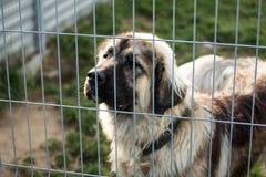 Kaukasische herdershond achter de bars van de hondschuilplaats stock foto