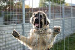 Kaukasische herdershond achter de bars van de hondschuilplaats royalty-vrije stock foto's