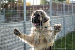 Kaukasische herdershond achter de bars van de hondschuilplaats stock afbeeldingen