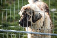 Kaukasische herdershond achter de bars van de hondschuilplaats stock afbeelding