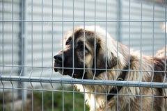 Kaukasische herdershond achter de bars van de hondschuilplaats stock fotografie