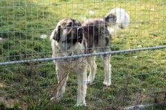 Kaukasische herdershond achter de bars van de hondschuilplaats royalty-vrije stock fotografie