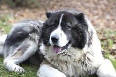 Kaukasische herdershond in de herfsttijd Volwassen Kaukasische Herdershond royalty-vrije stock afbeeldingen