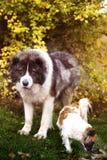 Kaukasische herdershond in de herfsttijd Volwassen Kaukasische Herdershond royalty-vrije stock foto's