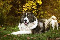 Kaukasische herdershond in de herfsttijd Volwassen Kaukasische Herdershond royalty-vrije stock foto
